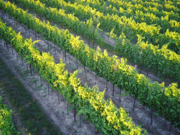 Weinsorten Winzerhof Eminger Obersulz Weinviertel